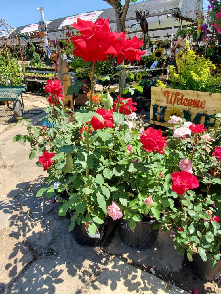 Beautiful red roses!