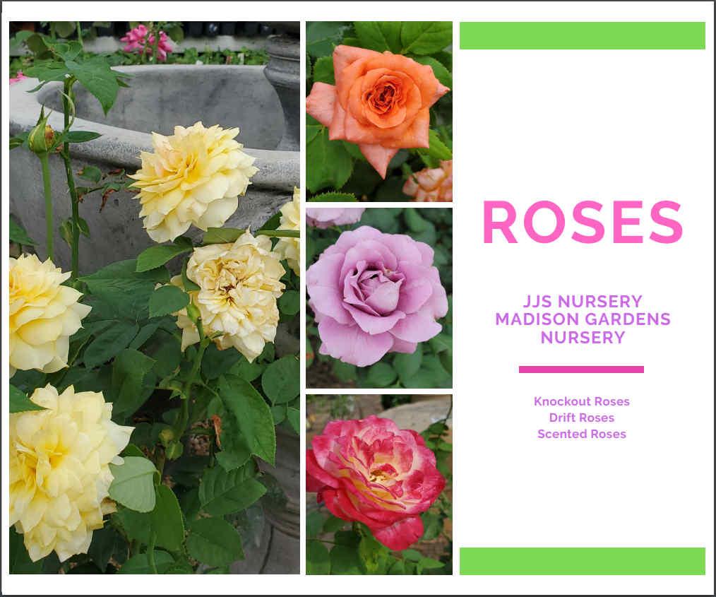 Roses at Madison Gardens Nursery!