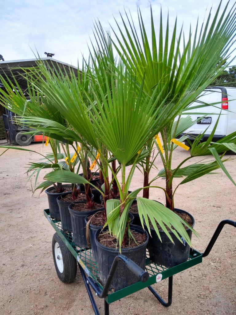 Mexican Fan Palms