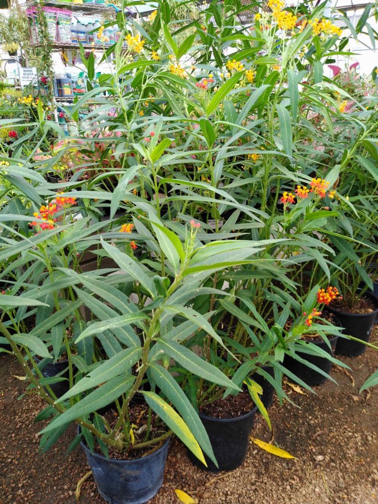 Milkweed for monarch caterpillars!