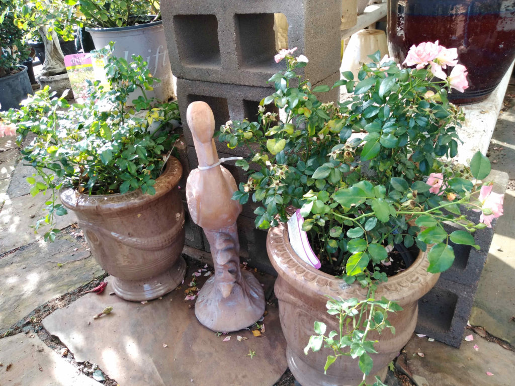 Drift roses in beautiful pottery!