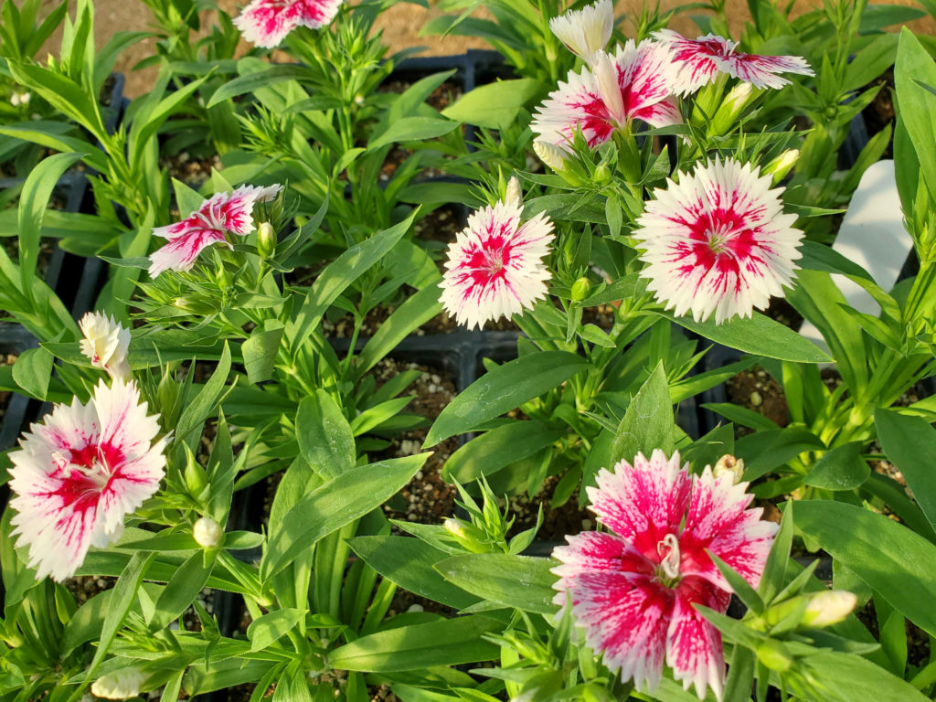 Gorgeous dianthus to bloom from now through next year!