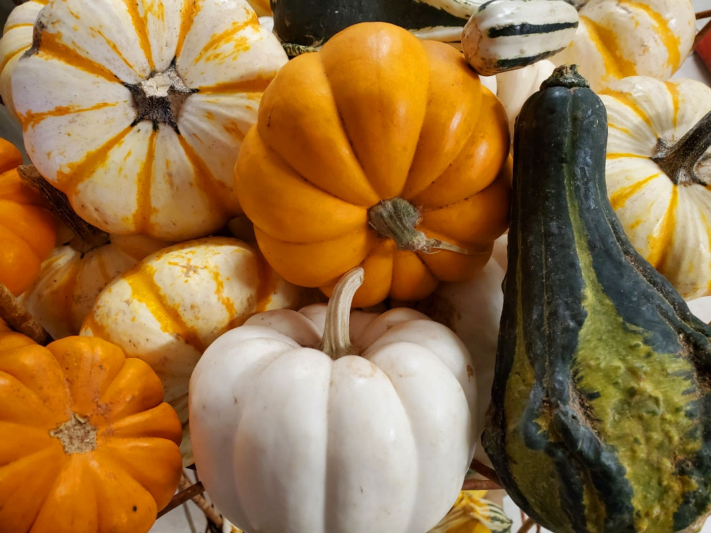 Mini pumpkins in many colors and gourds for a fang-tastic Halloween!