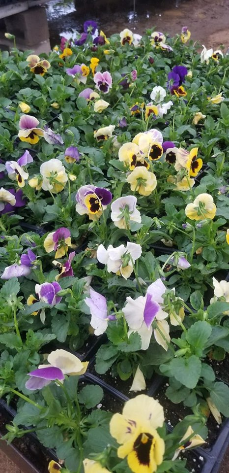 Pansies! Fall and winter color!