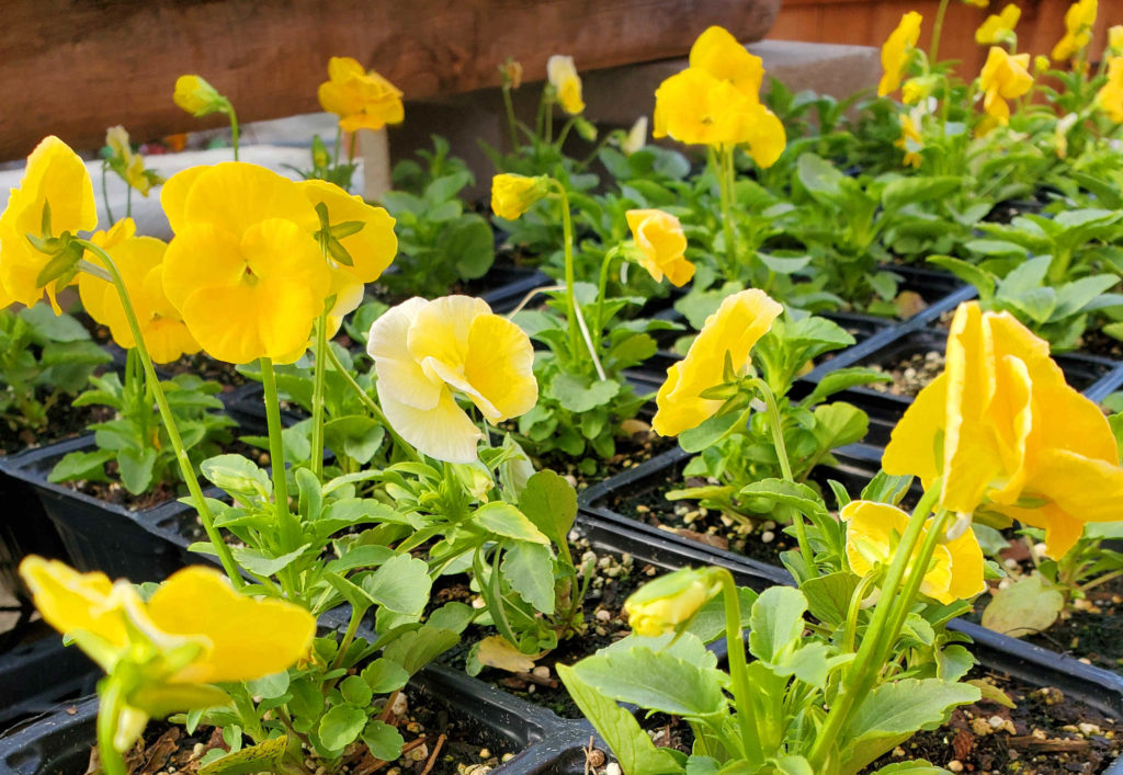 Bright violas for fall and winter!