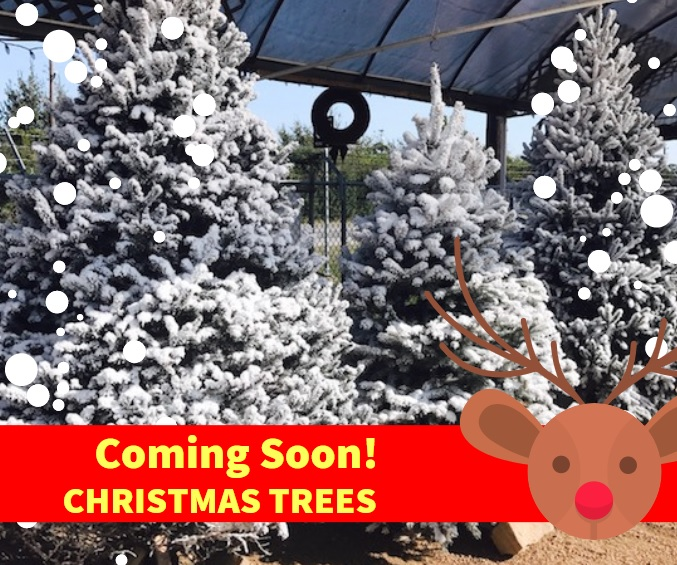 Christmas Trees coming soon to Madison Gardens Nursery!