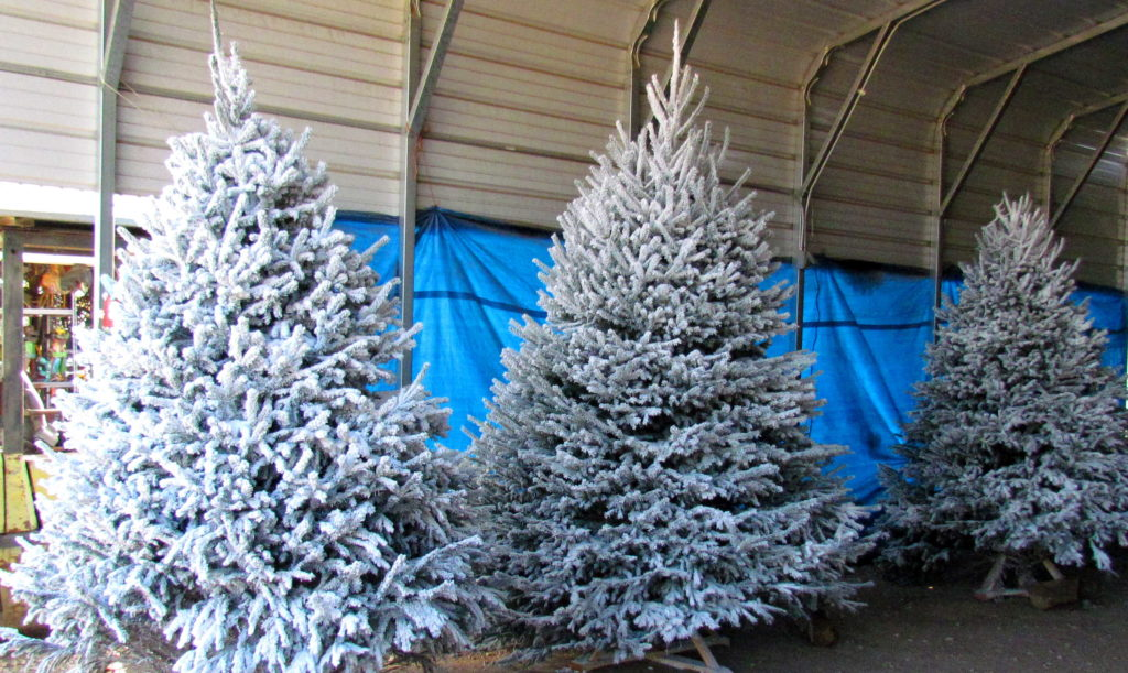 Let it snow, let it snow, let it snow! Real flocked Christmas trees!