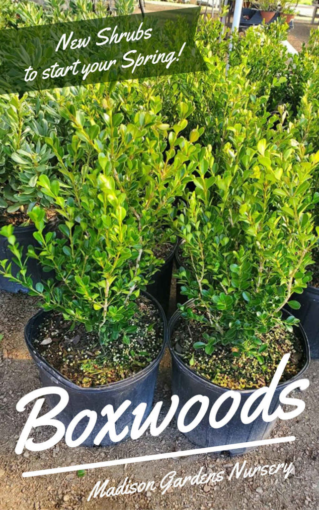 Boxwood shrubs that stay green through winter!