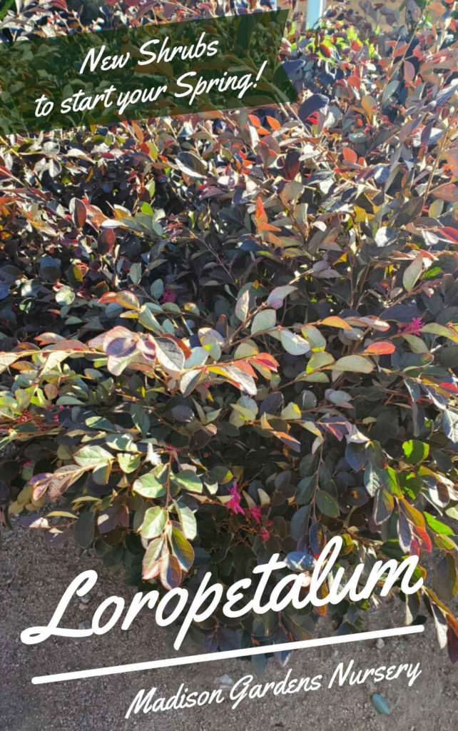 Loropetalum (plum delight, Chinese fringe) shrubs! Stay a beautiful plum red color all year! Blooms in the spring!