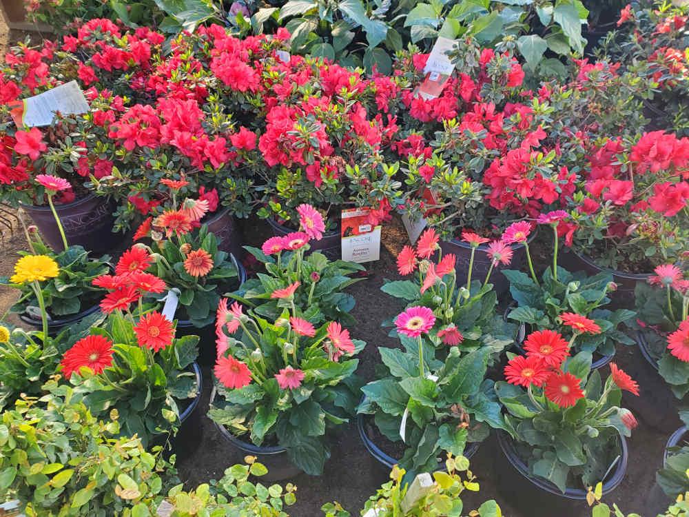 Gerbera Daisy and Encore Azaleas! Both available in many colors!