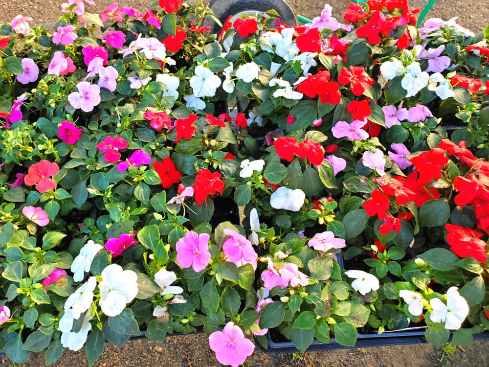 Herbs, vegetables and plants at Madison Gardens Nursery! Impatiens. Lots of color for your flowerbeds!