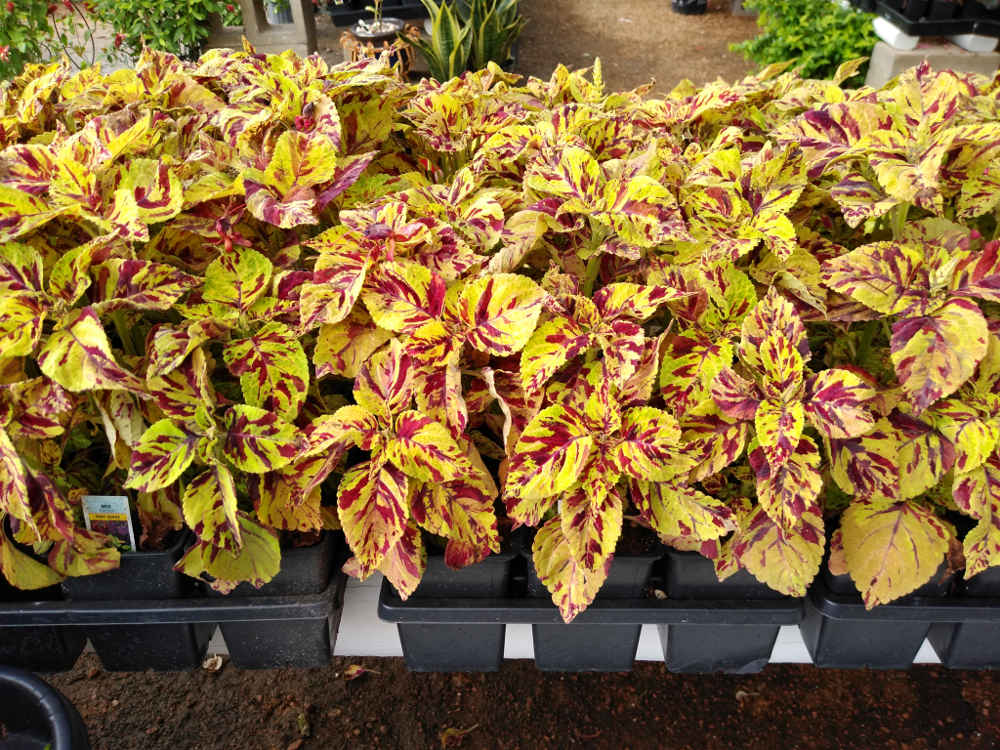 Get this coleus for your flowerbeds!