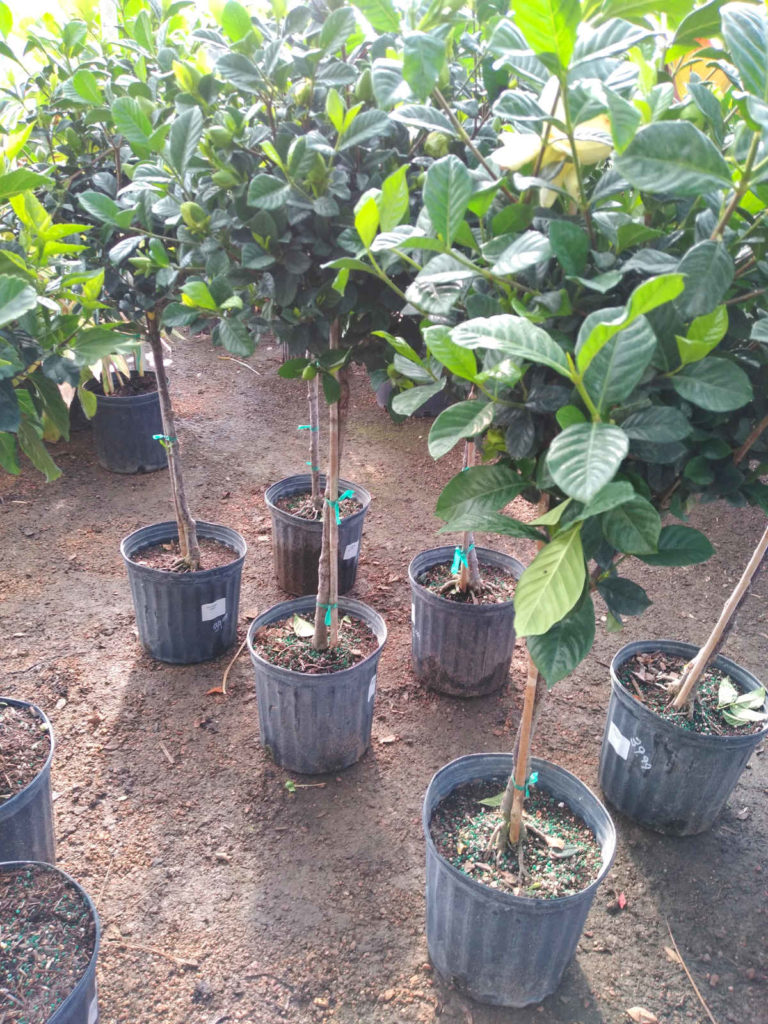 Gardenia standards ready to line your backyard!