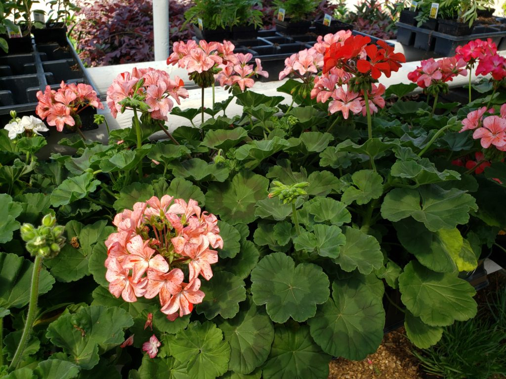 Geraniums plants in many colors!