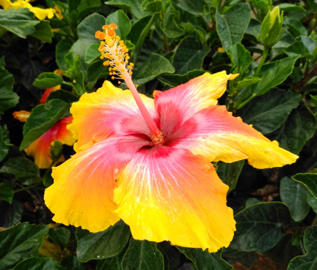This gorgeous hibiscus is brightening up the day!