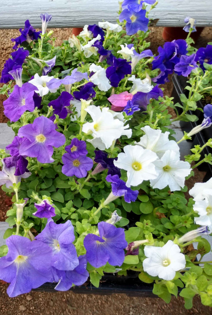 Petunias in many colors are available for your flowerbeds and pots!