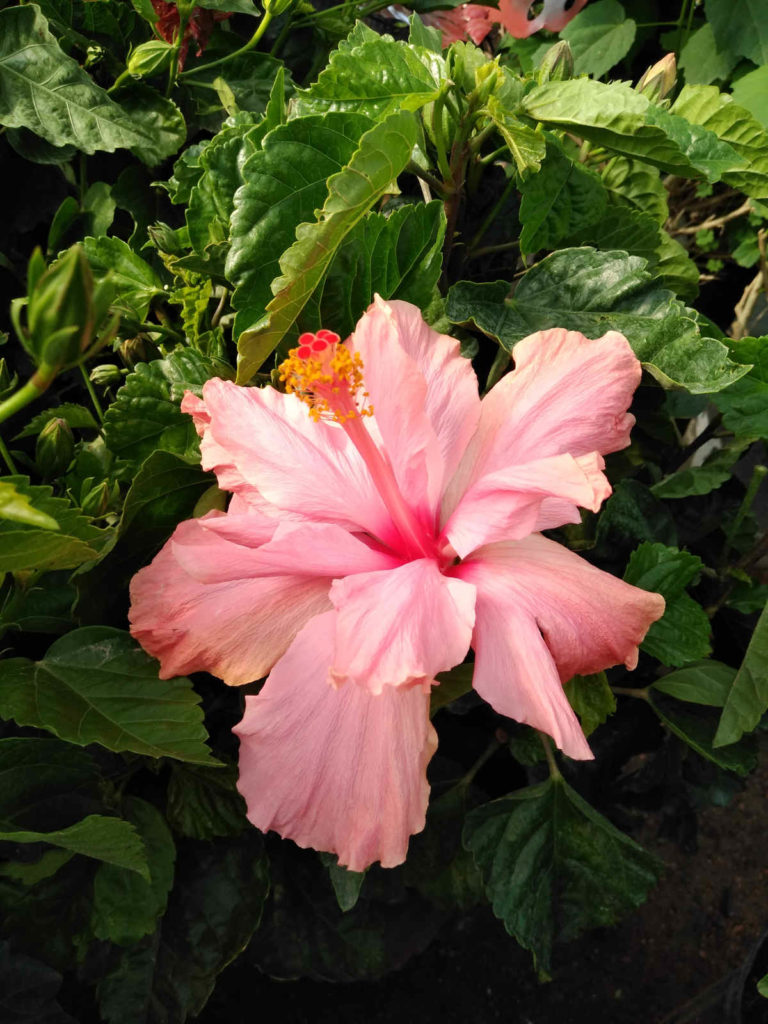 Another beautiful hibiscus blooming at Madison Gardens Nursery!
