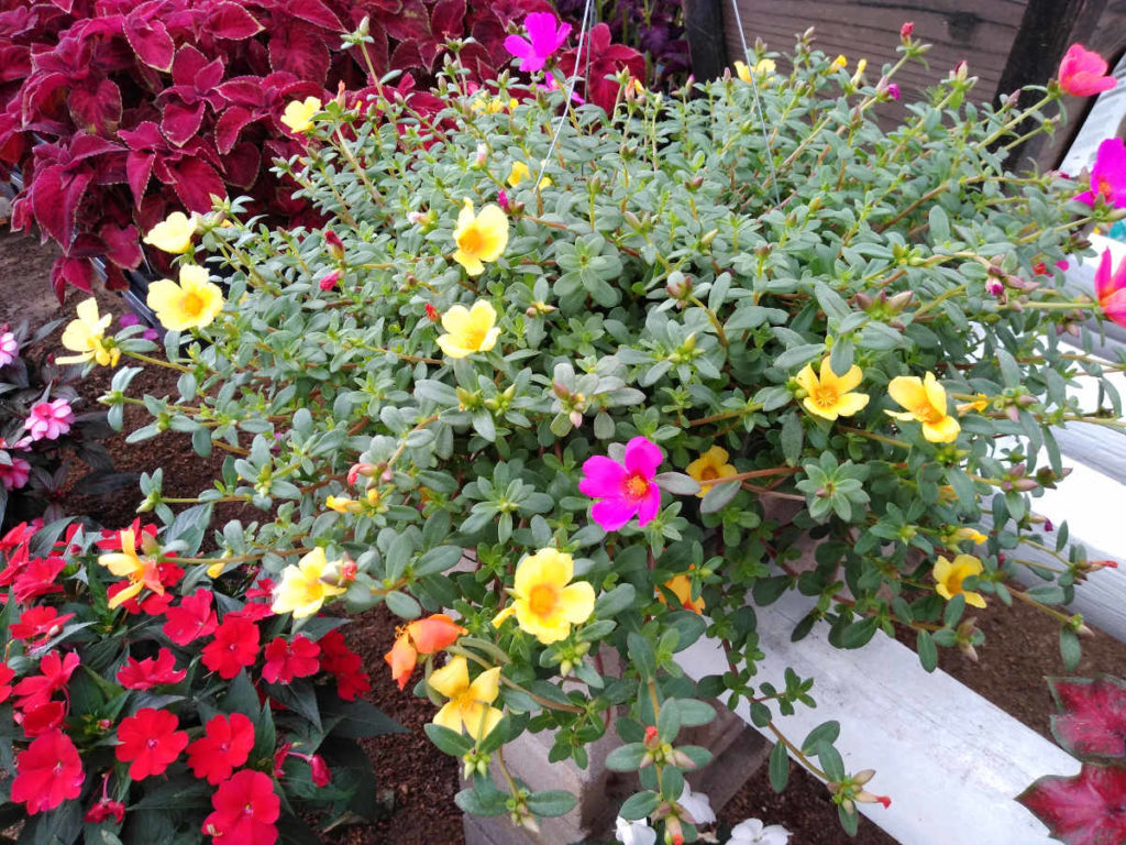 Multicolor purslane hanging baskets getting ready to fully bloom!