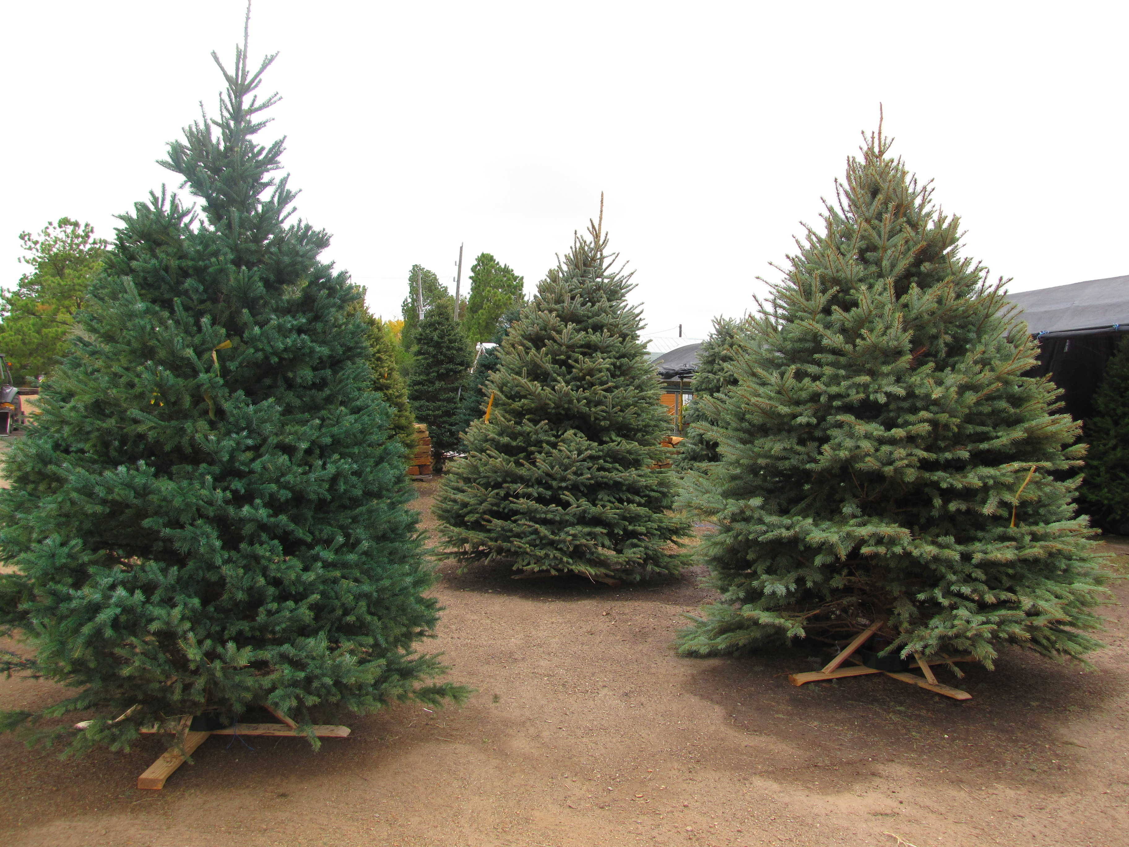 Seasonal Products including Christmas Trees and Fireworks at Madison Gardens Nursery, Spring, TX.