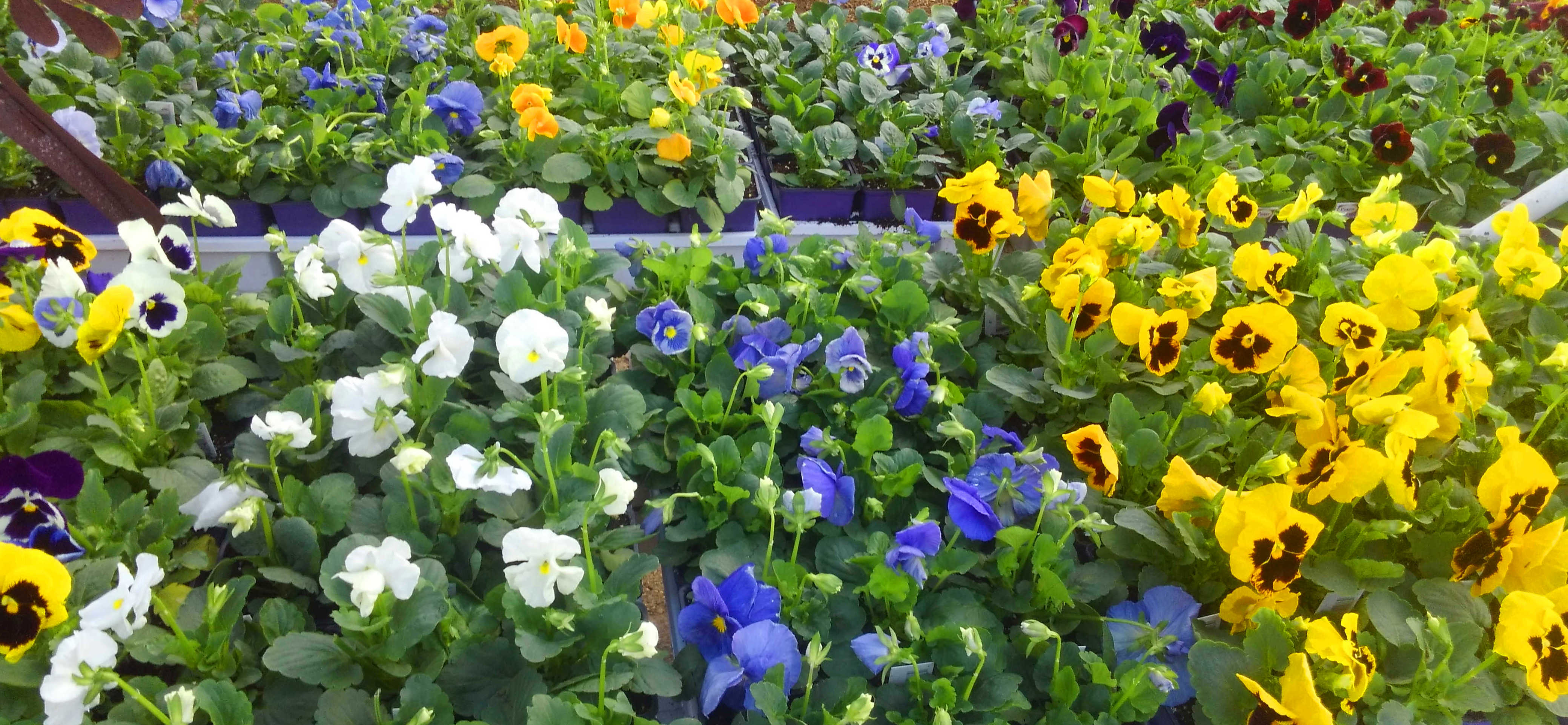 Plants, Vegetables, Herbs and much more at Madison Gardens Nursery, Spring, TX.