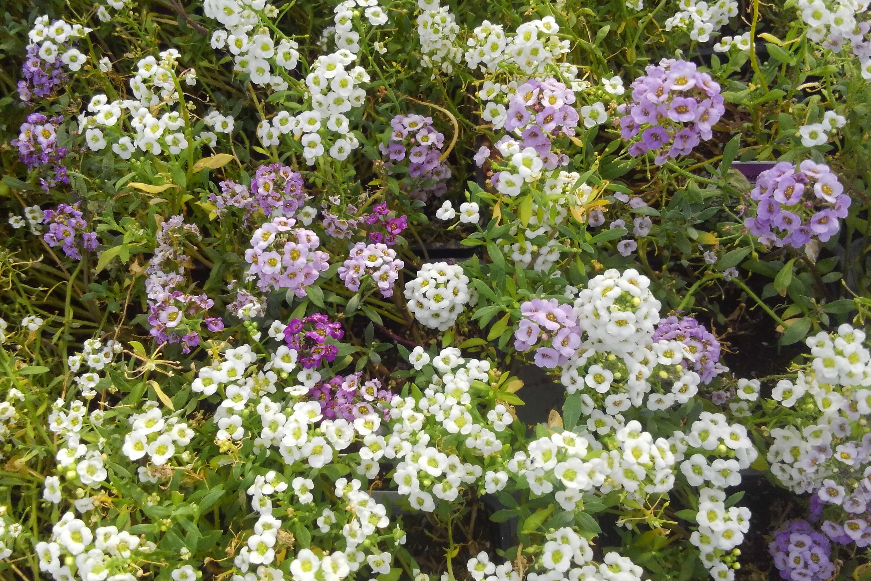 Groundcover like Jasmine, Creeping Jenny, Mexican Heather and more available Madison Gardens Nursery, Spring, TX