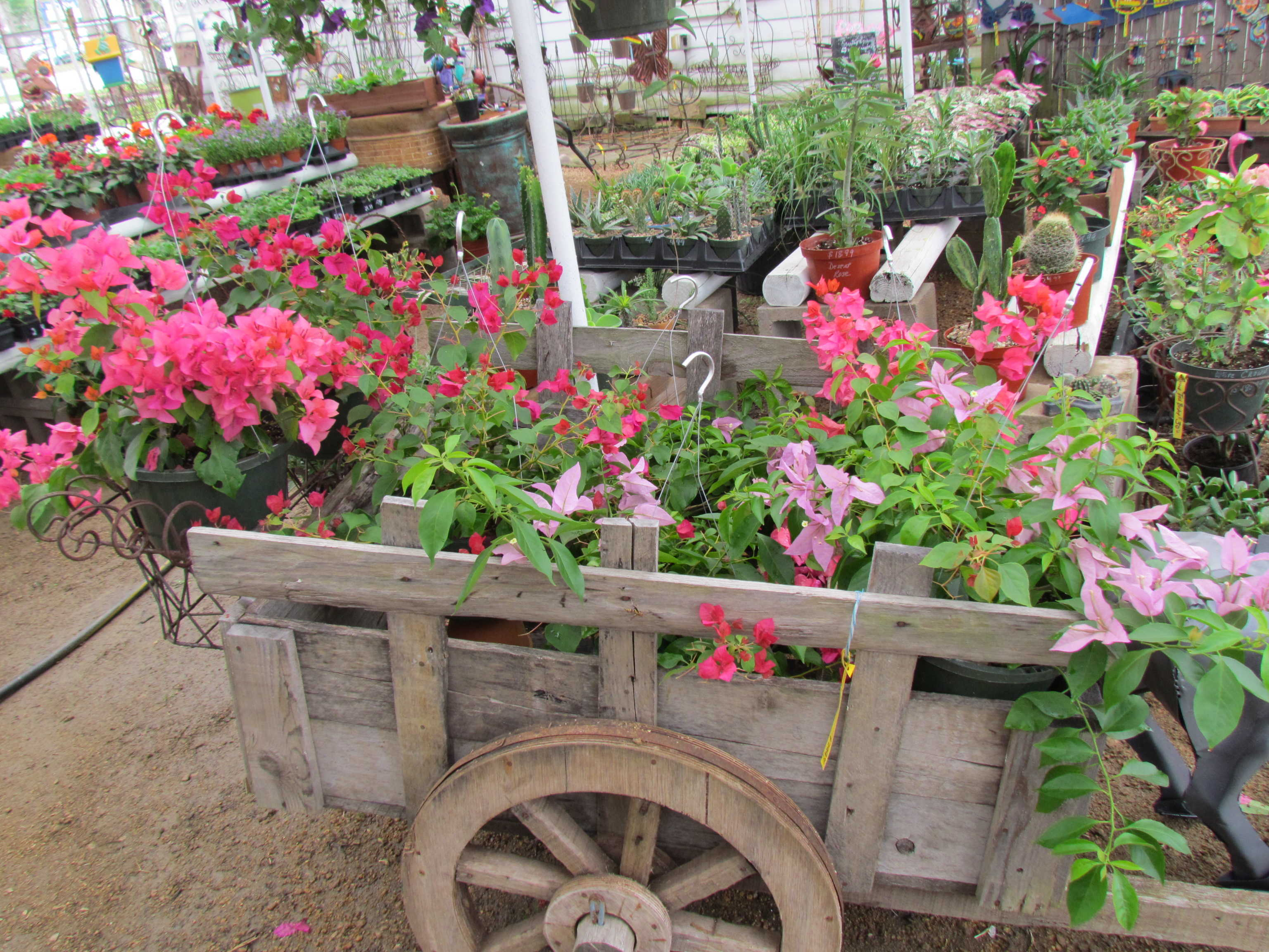 Bougainvillea hanging baskets at Madison Gardens Nursery, Spring, TX