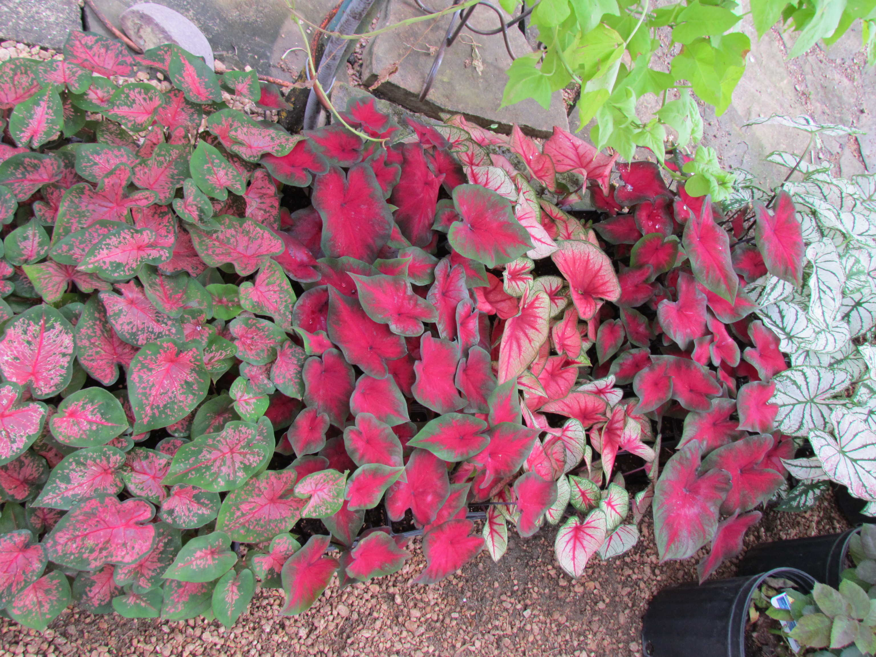 Groundcover like Caladiums and more available Madison Gardens Nursery, Spring, TX