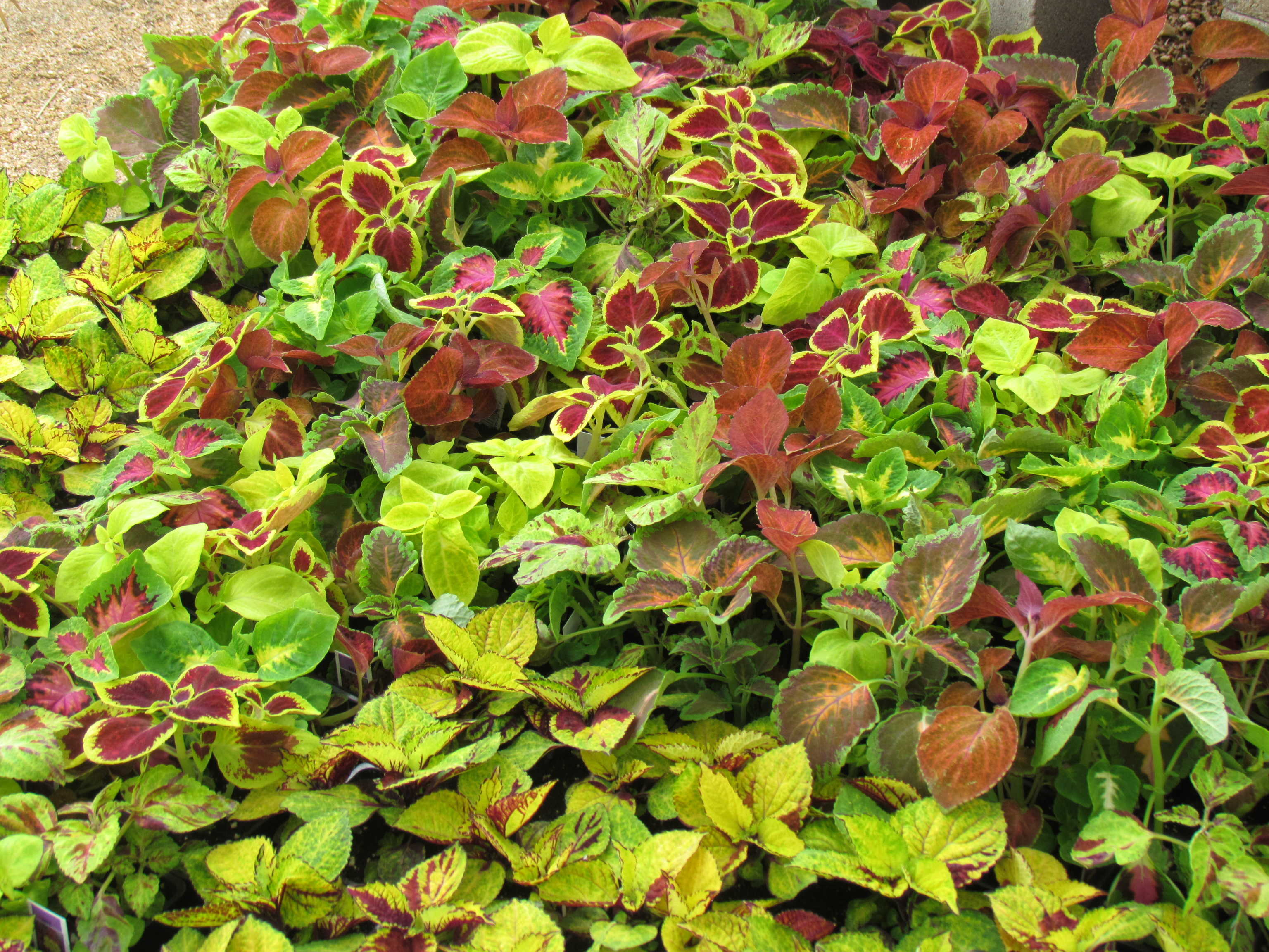 Large variety of ground cover such as this Coleus and more at Madison Gardens Nursery, Spring, TX