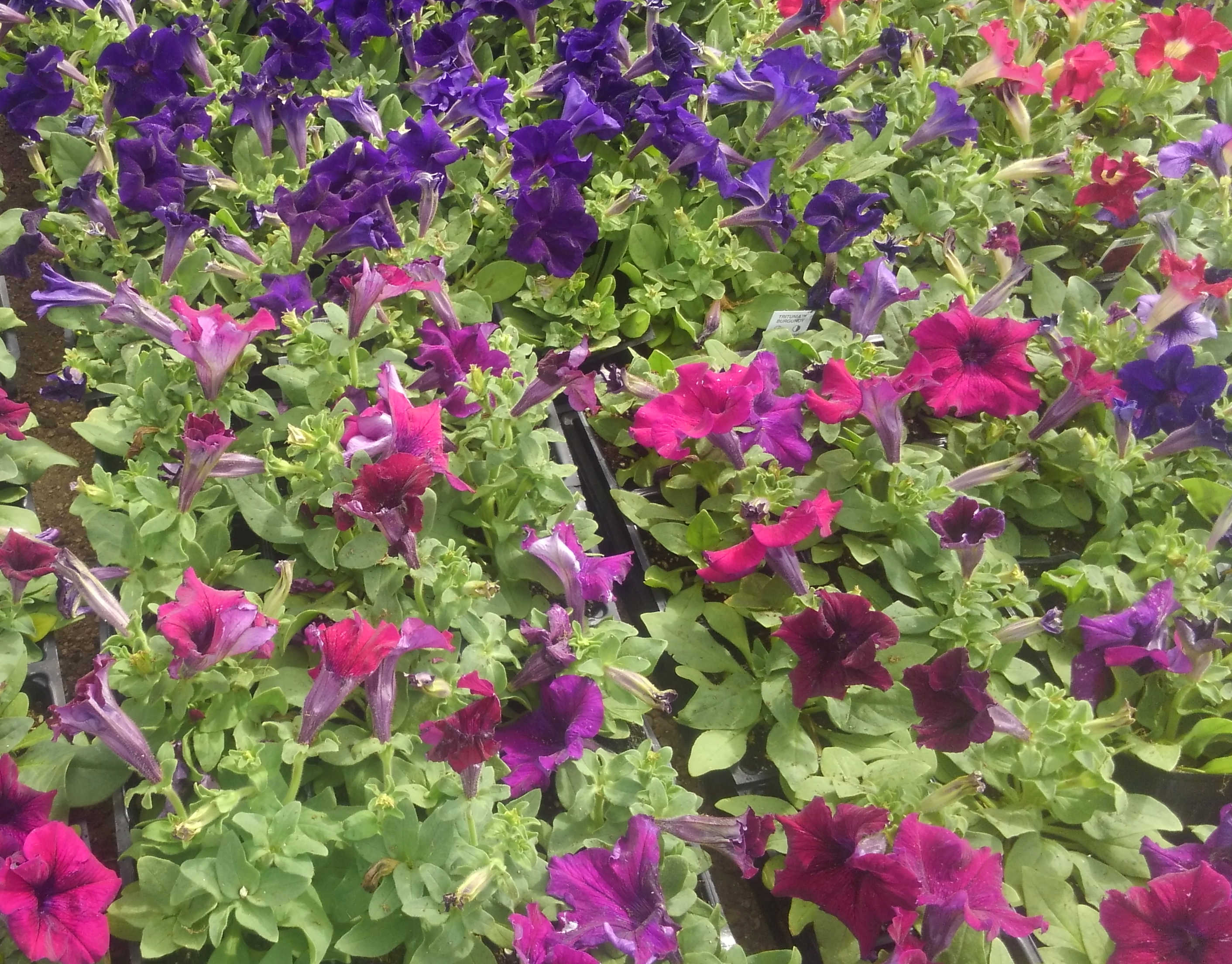 Huge variety of flowers at Madison Gardens Nursery, Spring, TX