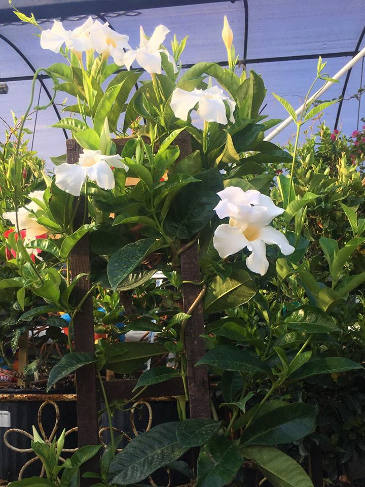 Bougainvillea vining plant and more at Madison Gardens Nursery, Spring, TX