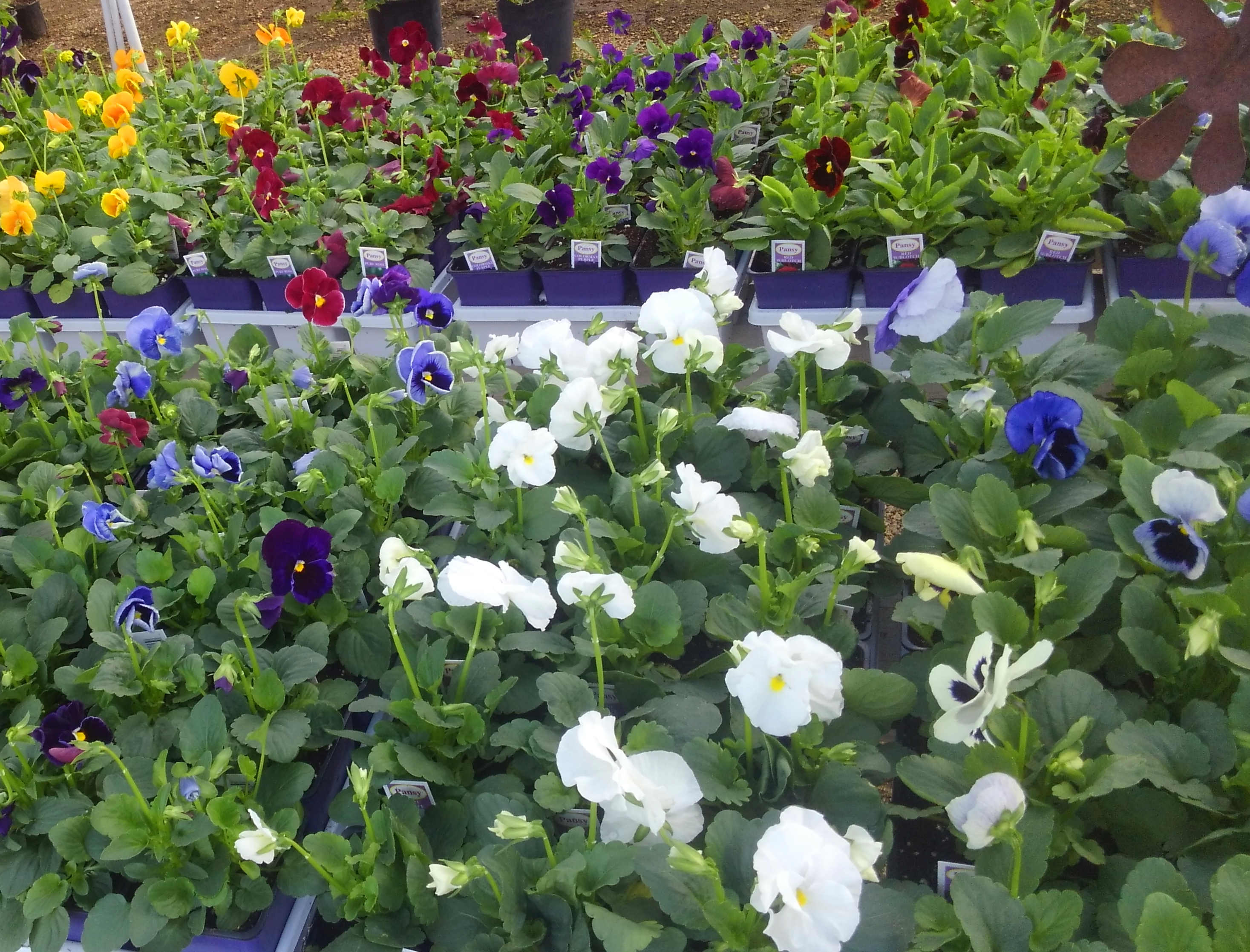 Flats of flowers at Madison Gardens Nursery, Spring, TX