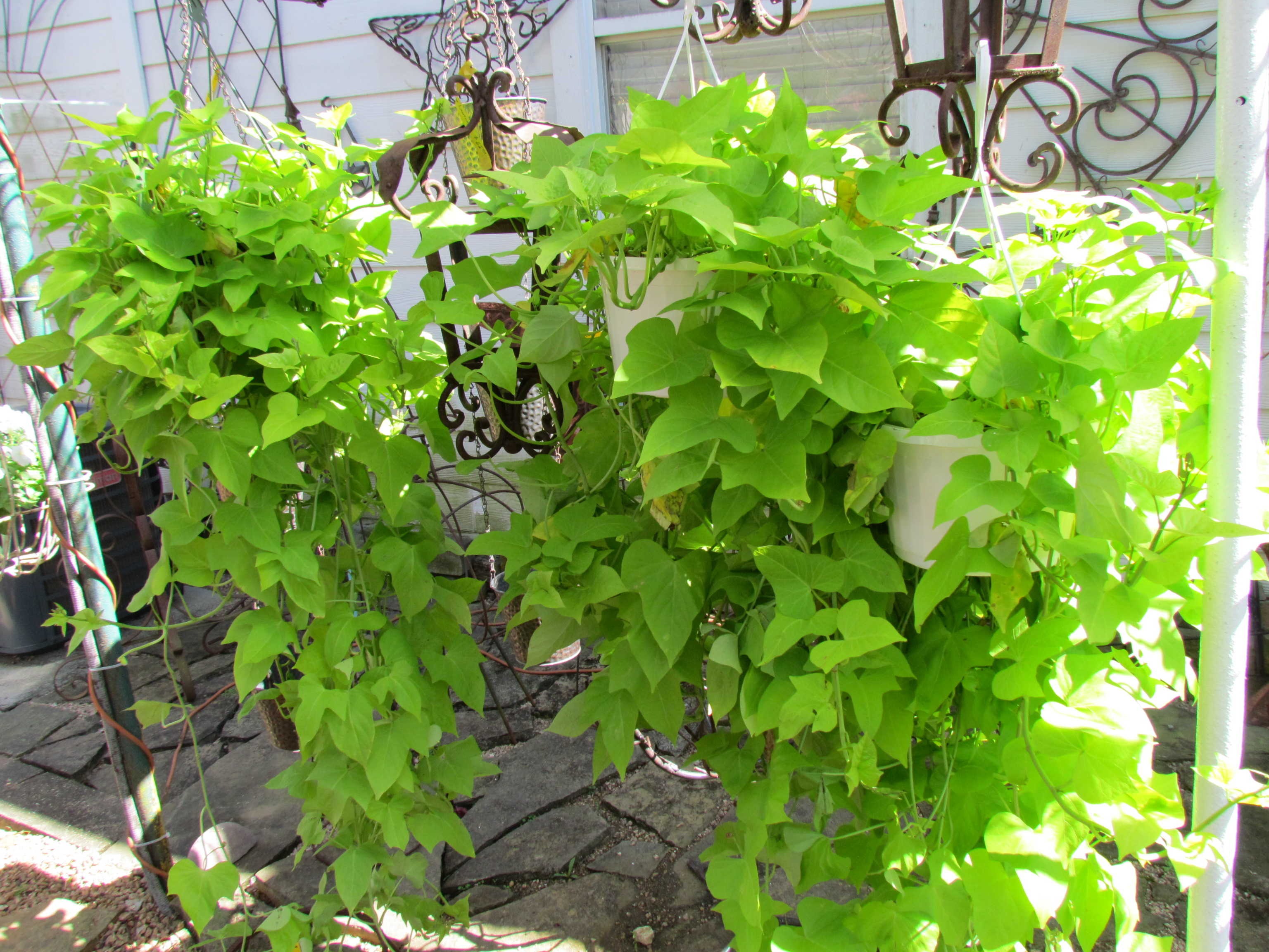 Large selection of vining plants at Madison Gardens Nursery, Spring, TX