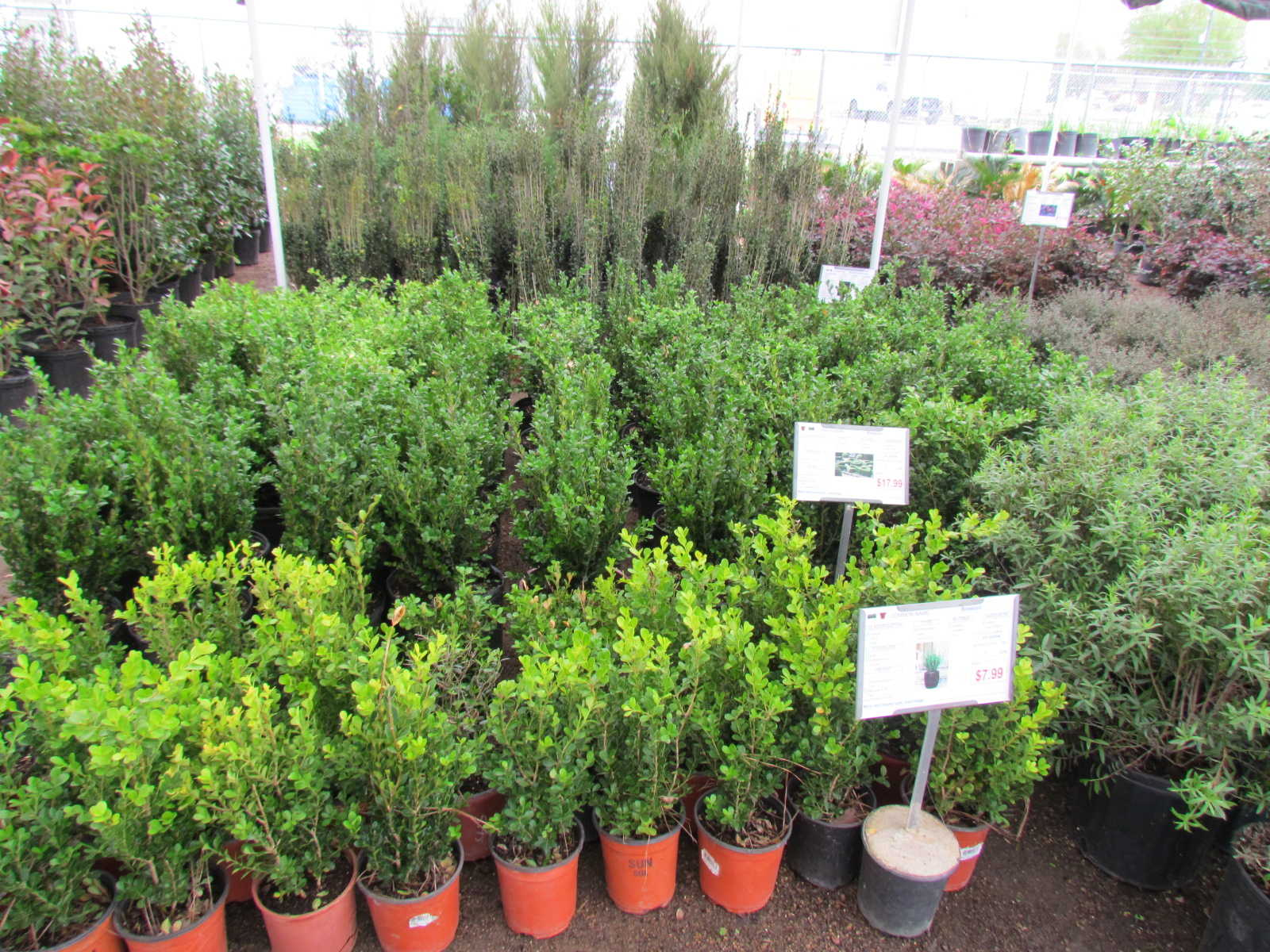 Large variety of shrubs including Encore Azaleas, Boxwoods, Yaupons, Crotons, Drift Roses and more at Madison Gardens Nursery, Spring, TX